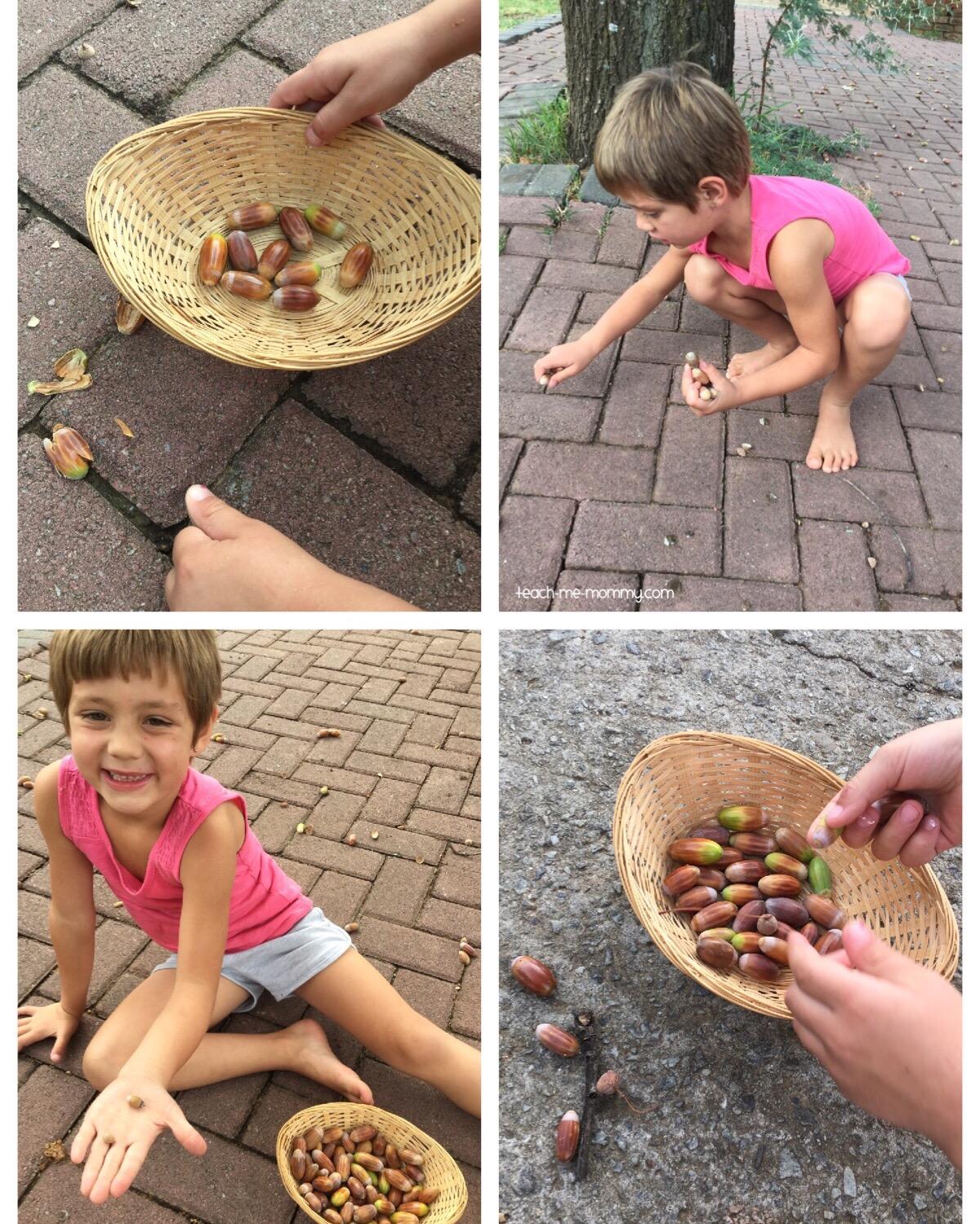 (harvesting acorns)