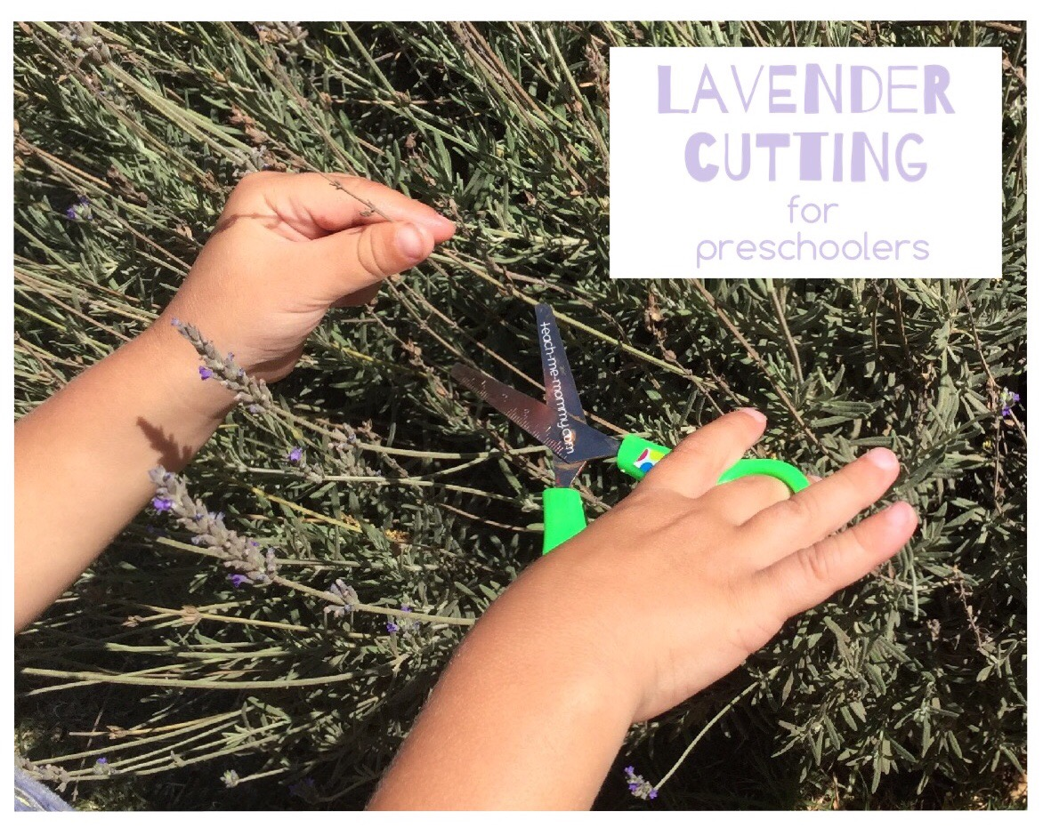 cutting lavender for preschoolers